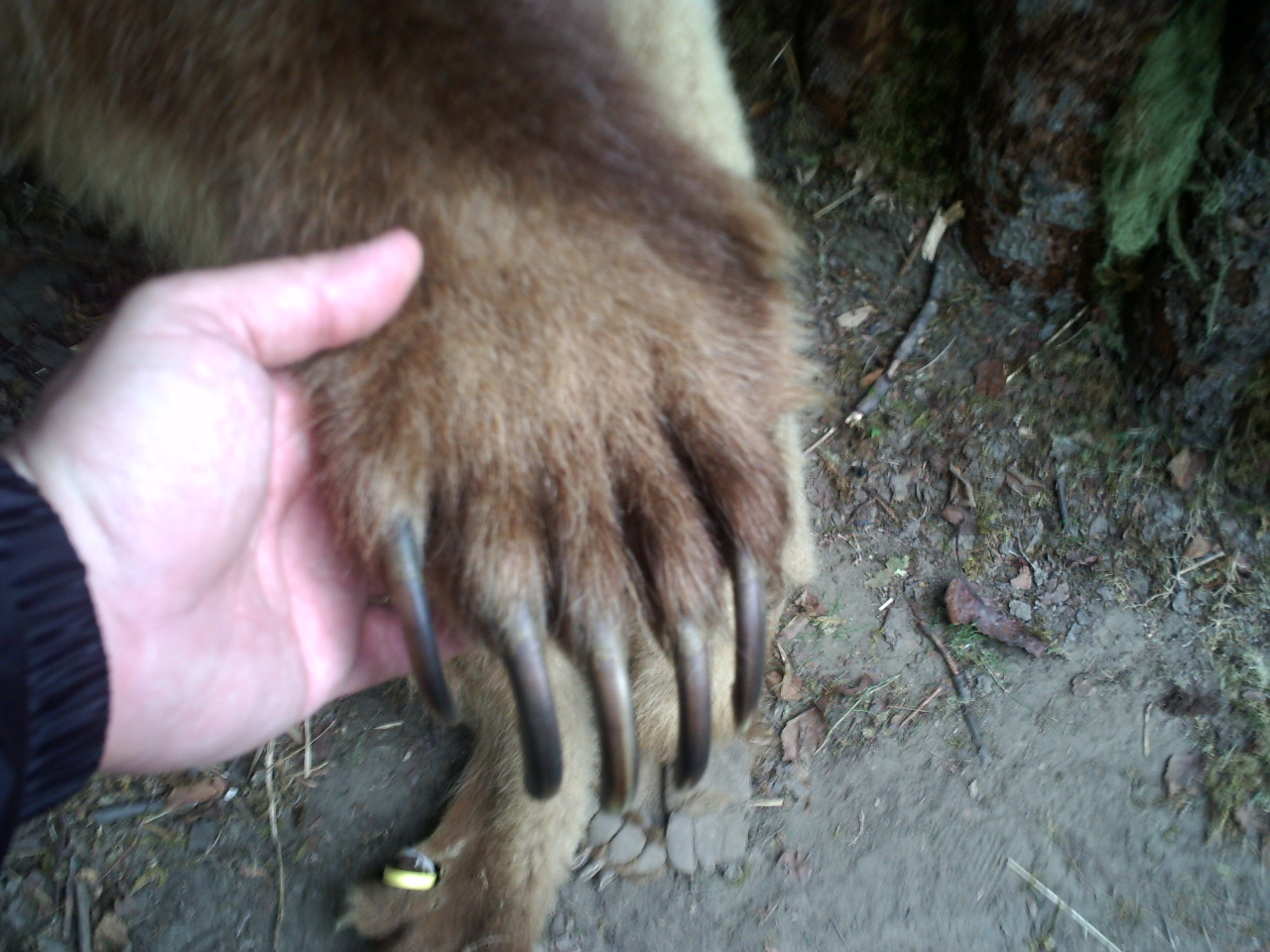 Why the bear sucks in winter paw